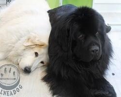 BALNEADOG - Grenoble - Les gros chiens